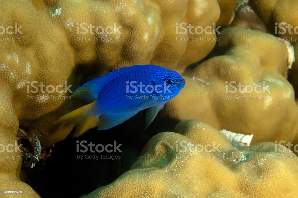 DAMSELFISH / chrysiptera glauca stock photo