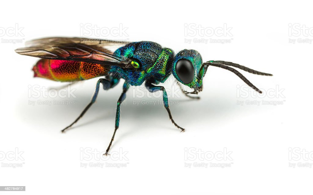 Chrysis - Ruby-tailed Wasp royalty-free stock photo