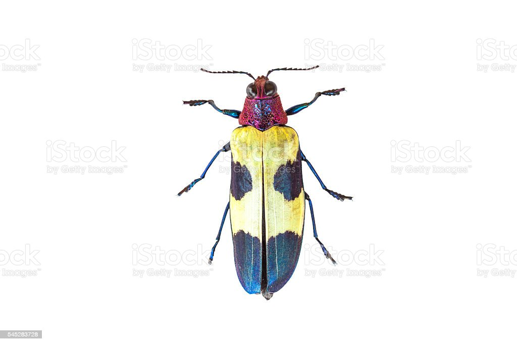Chrysochroa buqueti stock photo