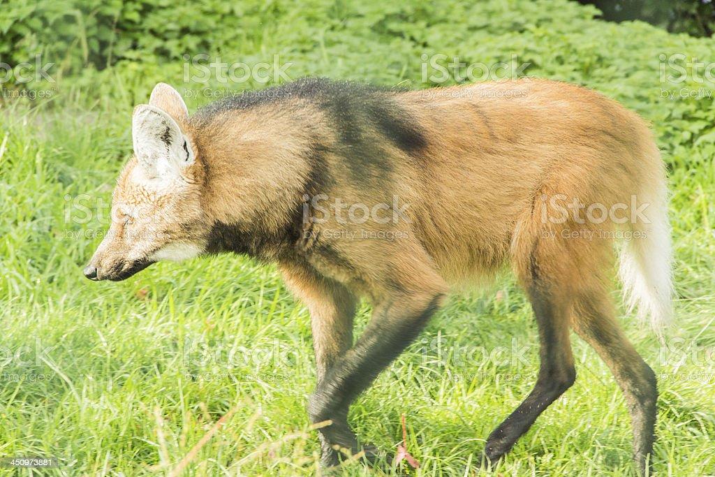 Chrysocyon brachyurus wolf stock photo