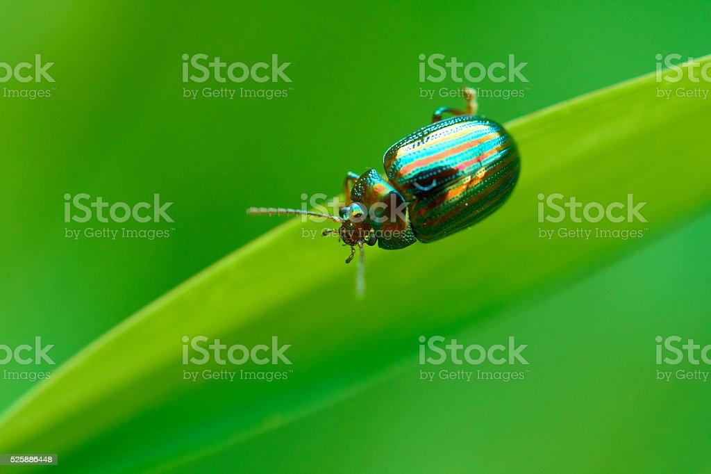 Chrysolina americana stock photo