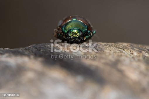 istock Chrysolina polita leaf beetle head on 637381314