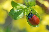 Chrysomela populi is a species of broad-shouldered leaf beetles belonging to the family Chrysomelidae.