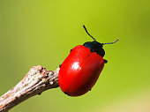 Red beetle balancing on the tip of a stick