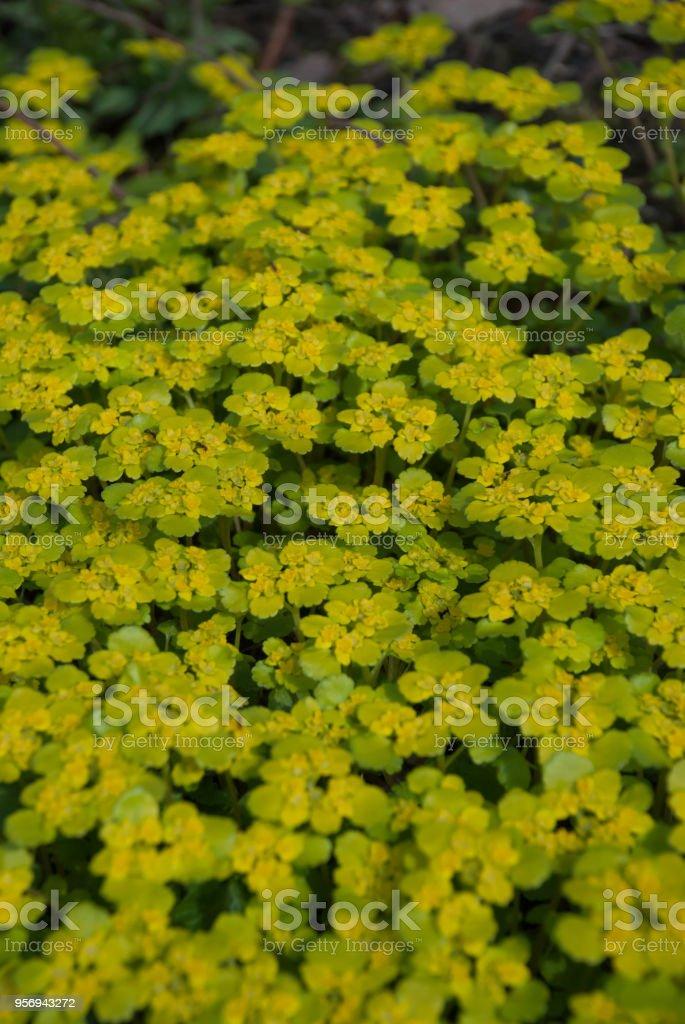 Chrysosplenium alternifolium (alternate-leaved golden-saxifrage) in spring garden, Latvia, Europe stock photo