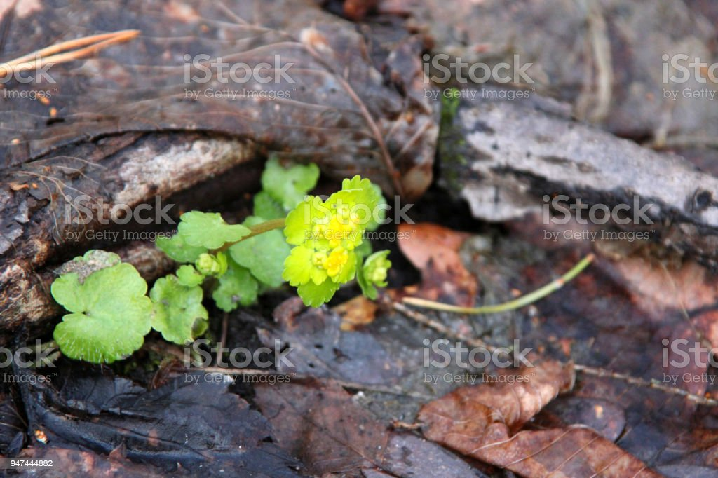 Chrysosplenium alternifolium or golden saxifrage flower in early spring forest stock photo