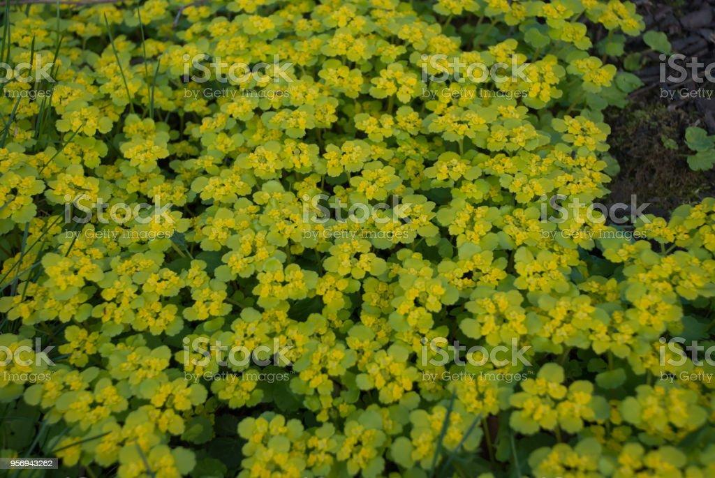 Chrysosplenium alternifolium (alternate-leaved golden-saxifrage) stock photo