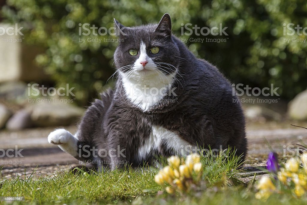 Chubby cat stock photo