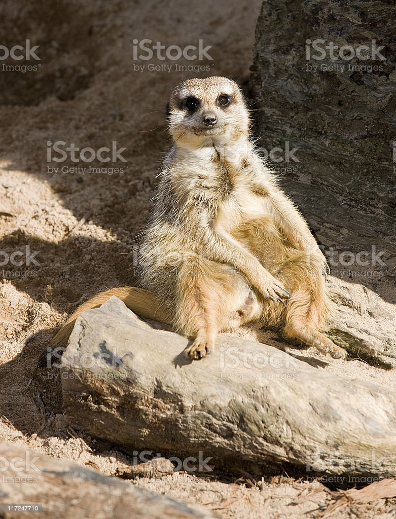 chubby meercat on patrol stock photo