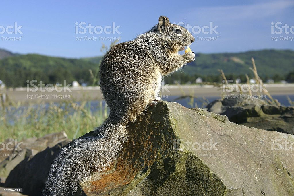 Chubby Squirrel and French Fry royalty-free stock photo