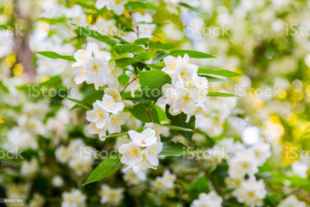 Chubushnik or jasmine garden bloom in the park flowering bush white chubushnik or jasmine garden bloom in the park flowering bush white flowers on mightylinksfo