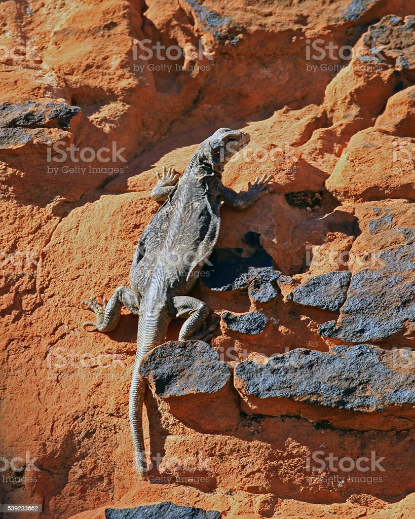 Chuckwalla Climbing on Rock royalty-free stock photo