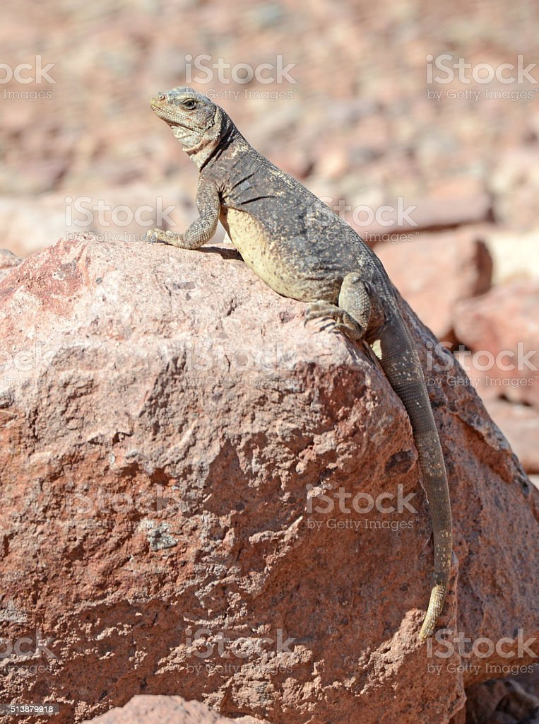 Chuckwalla lizard, native to deserts of the USA and Mexico stock photo