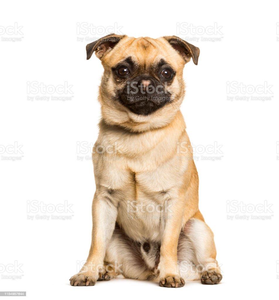 23+ Chihuahua Pug