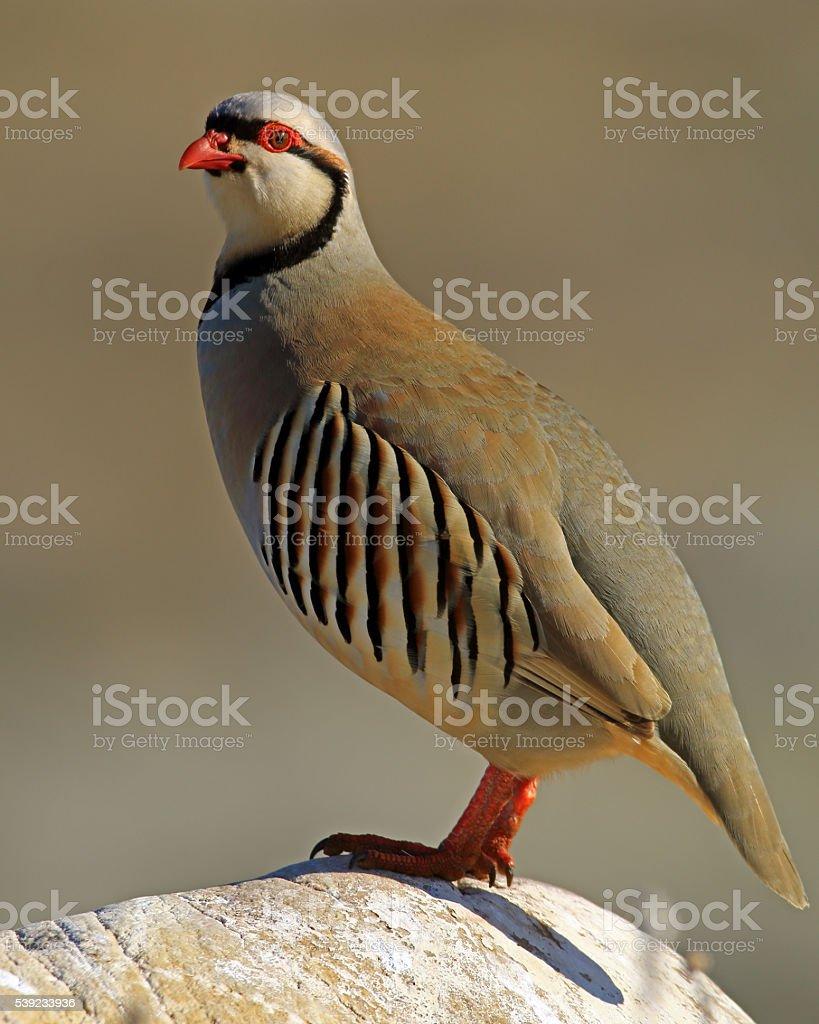 Chukar Partridge Adult stock photo