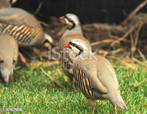Non-native game bird found mostly in western states. Often seen in small flocks.