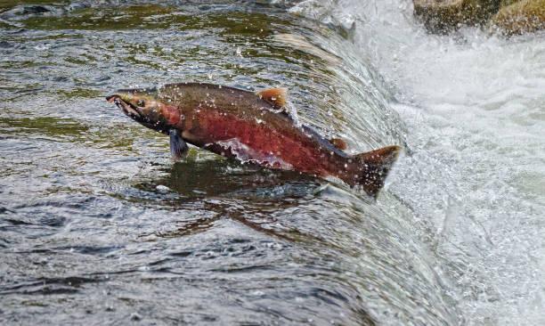 Chum Salmon, Kanada – Foto