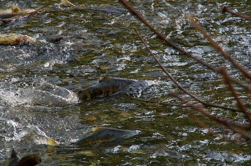 istock Chum salmon fight their way upstream through the shallows in Goldstream River, 1073837940