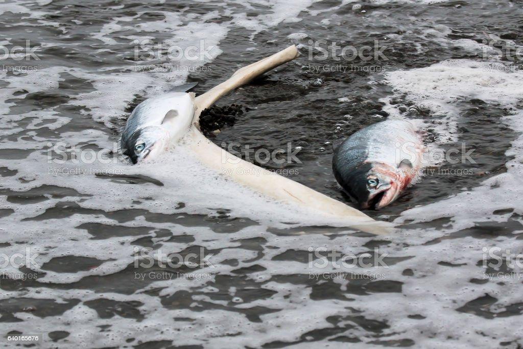 chum salmon near the fin whale stock photo