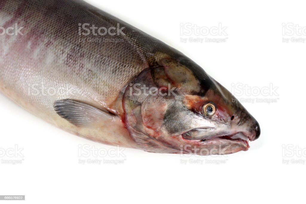 Chum salmon stock photo