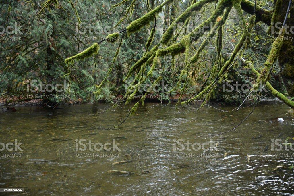 Chum Salmon Spawning royalty-free stock photo
