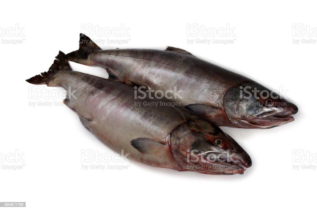 Chum salmons stock photo