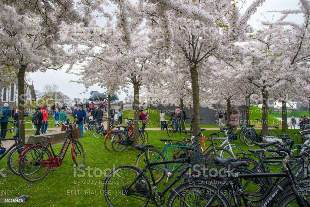 Churchill Park in Copenhagen Denmark - people enjoying the white cherry blossoms stock photo