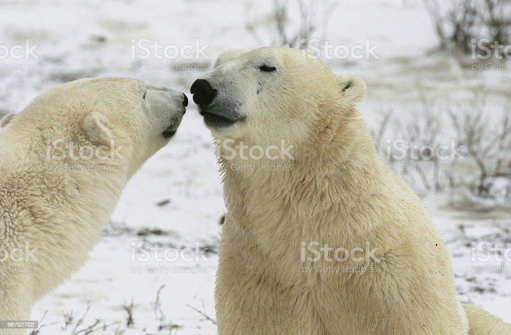 Churchill's polar bears royalty-free stock photo