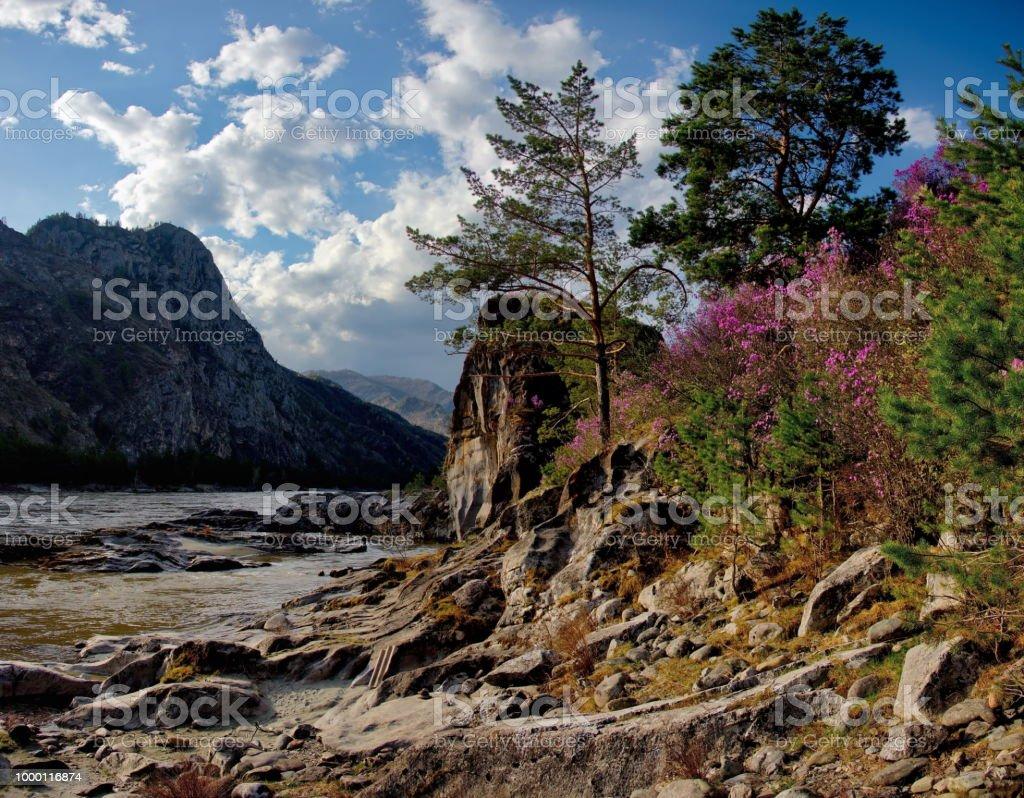 Chuyskiy-Darm-Trakt in der Zeit der Blüte der Maralnik (Rhododendron) – Foto