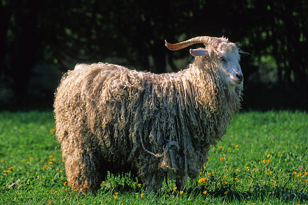 chèvre angora stock photo