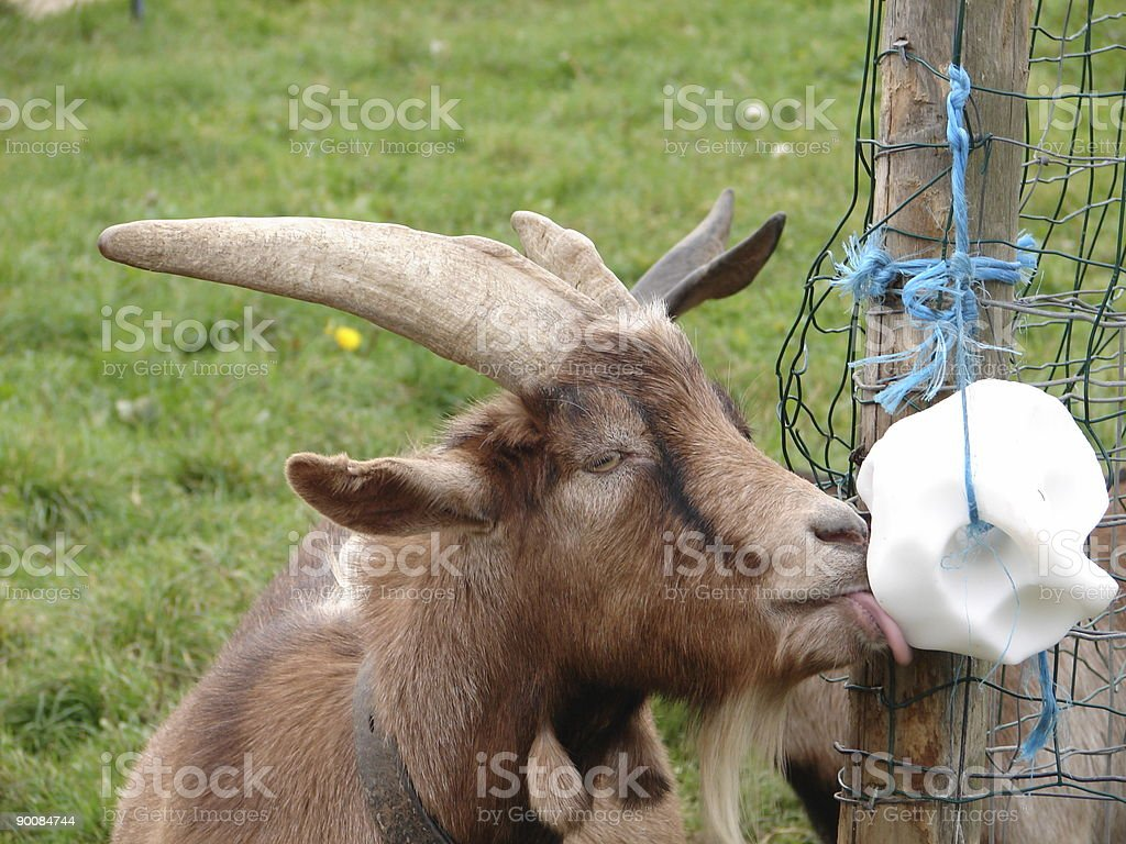 chèvre - Photo