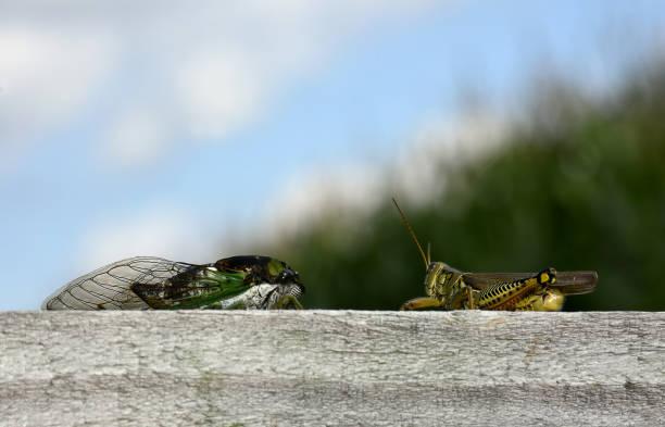 Cicada and Grasshopper