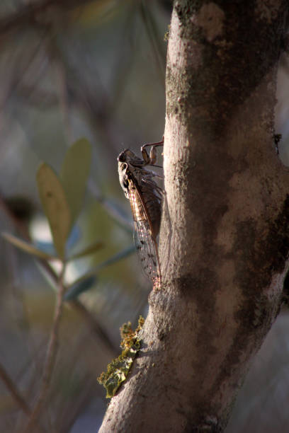 Cicada, Cicada orni hiding on an olive tree, Freginals, Montsia, Catalonia, Spain stock photo