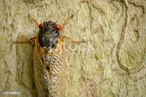 A close up of a cicada sticking to a tree trunk in Western Pennsylvania, USA.