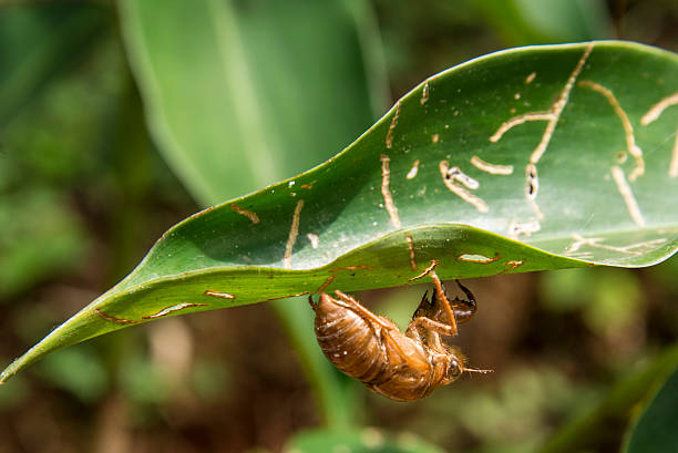 Cicada dead shell hanging from leaf stock photo