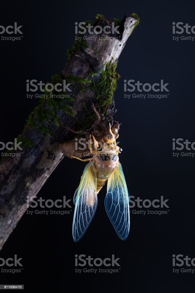 cicada eclosion with golden body and green wings stock photo