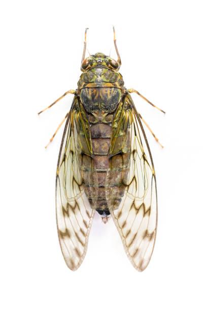 Cicada in white background stock photo