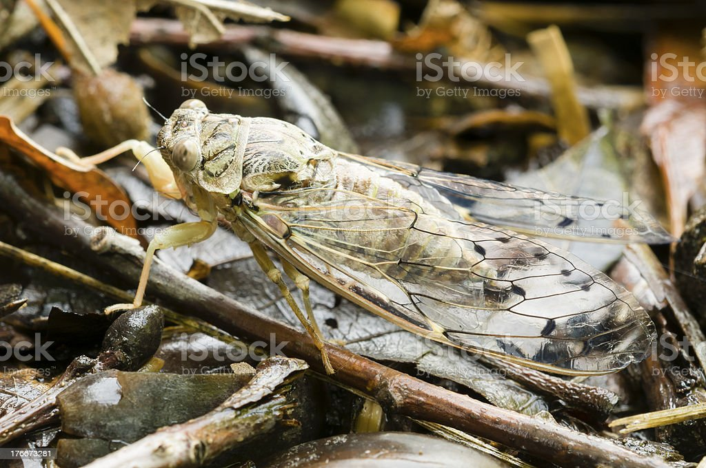 Cicada insect royalty-free stock photo