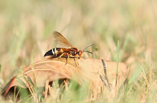 cicada killer on leaf - moordenaar stockfoto's en -beelden