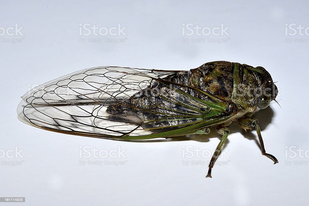 Cicada Lateral View stock photo