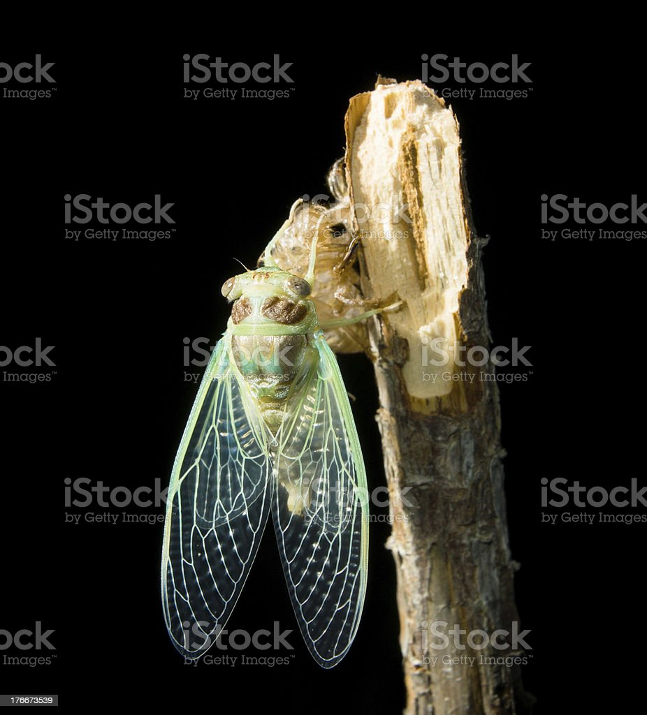 Cicada metamorphosis (Latin Cicadidae) on the black background. royalty-free stock photo