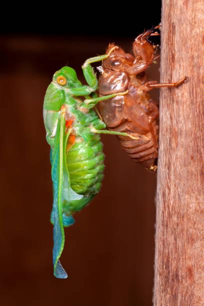 Cicada molting exuvia emerging shell stock photo
