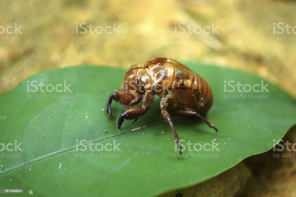 Cicada molting. stock photo