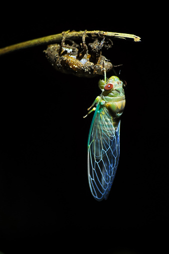 Cicada molting in nature with black background