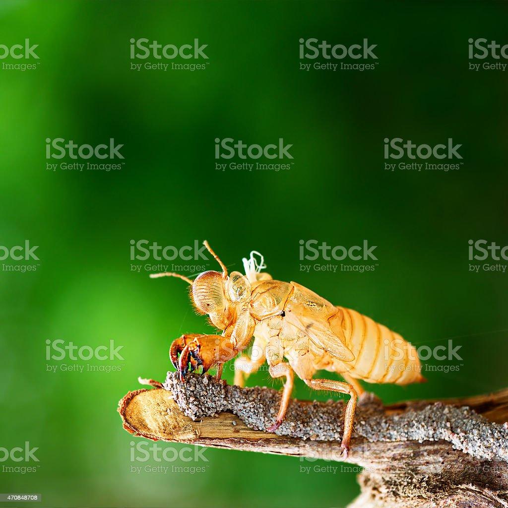 Cicada molting shedding its shell stock photo
