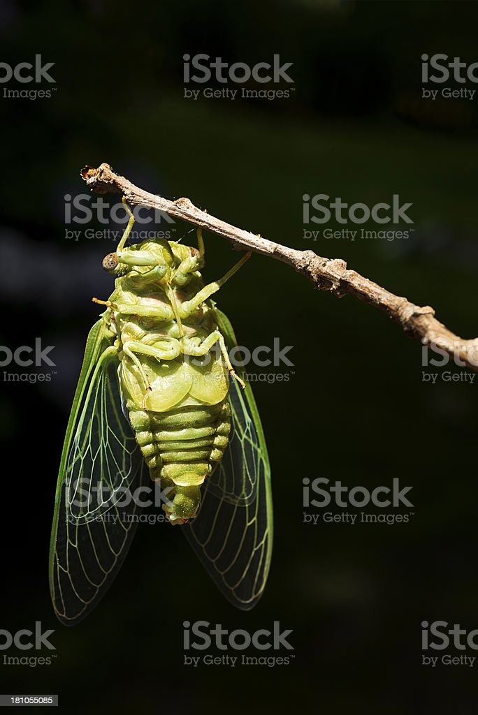 Cicada Nymph After Shedding Exoskeleton Drying Out in the Sun royalty-free stock photo