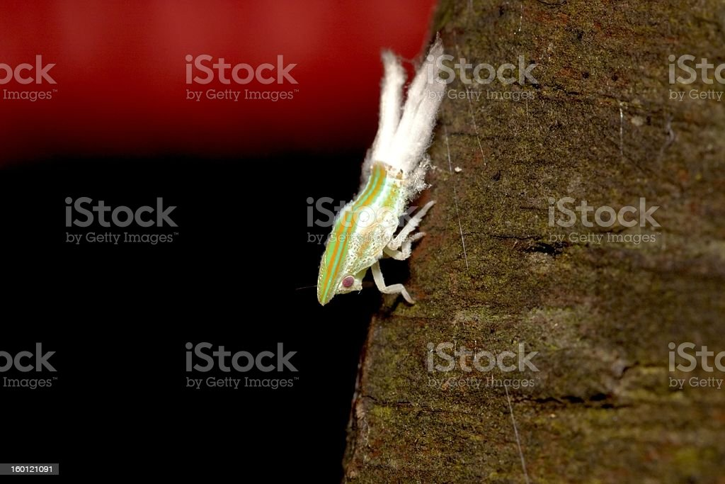 cicada Nymphae royalty-free stock photo