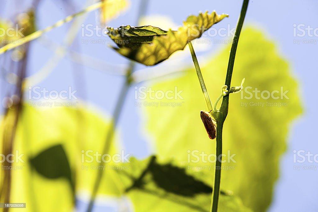 Cicada on the green tree royalty-free stock photo