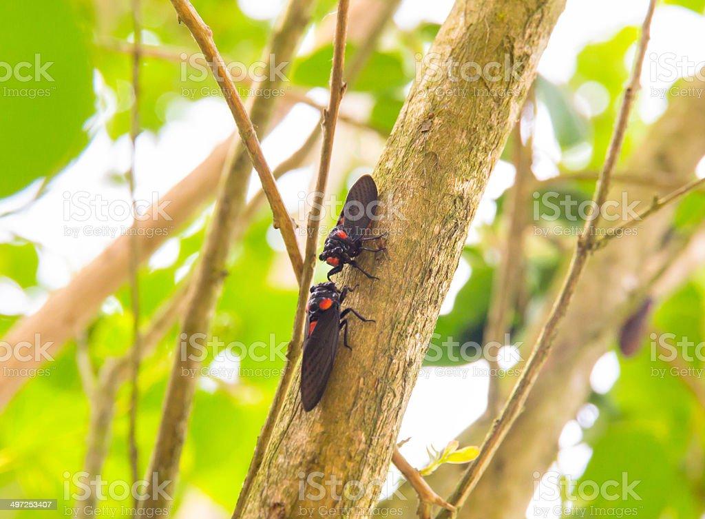cicada on tree royalty-free stock photo