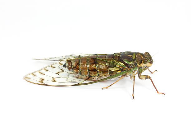 Cicada on white background stock photo